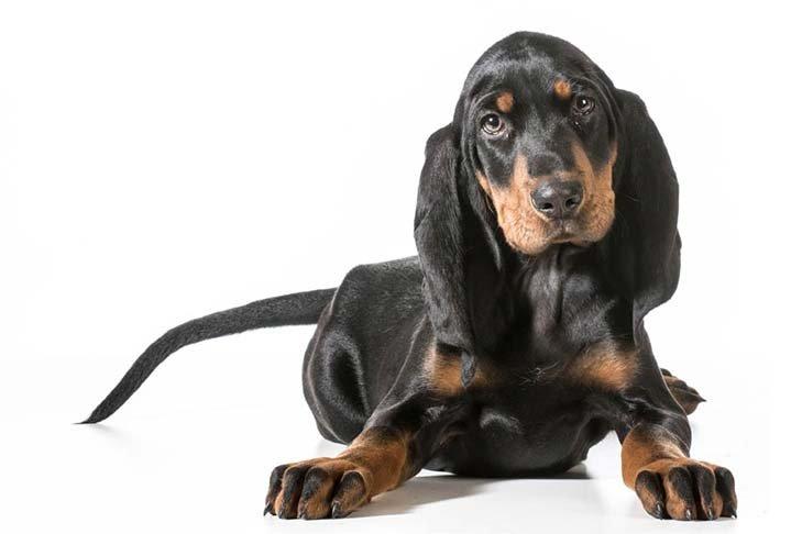 Black-And-Tan-Coonhound-MP.jpg